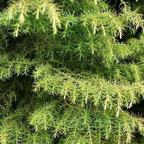 Cryptomeria jap nica elegans arboles y plantas plantas for Precio abeto vivero