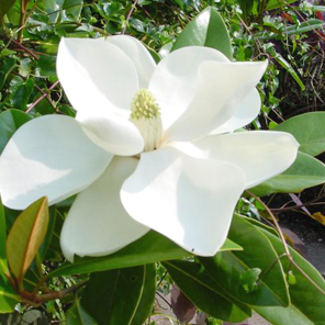 Magnolia arboles y plantas plantas vivero kirken vivero for Vivero las magnolias