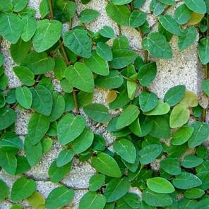 Enamorada del muro plantas trepadoras plantas vivero - Madreselva en maceta ...